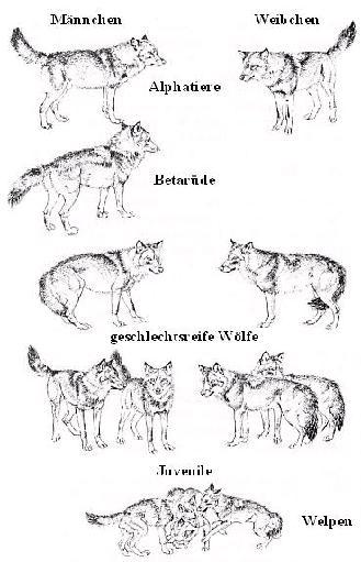 Körpersprache Des Hundes Arbeitsblatt : Wolf